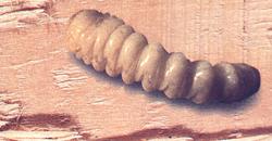 prosablage service de traitement du bois insectes xylophages larve lyctus