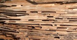 bois attaqué par des Insectes xylophages ou fourmis